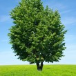 Tree on meadow - Stock Photo