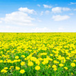 Yellow dandelion - Stock Photo