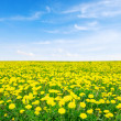 Yellow dandelion -  