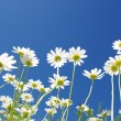 Daisies on blue sky — Stock Photo