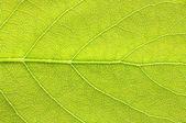 Leaf texture — Foto Stock