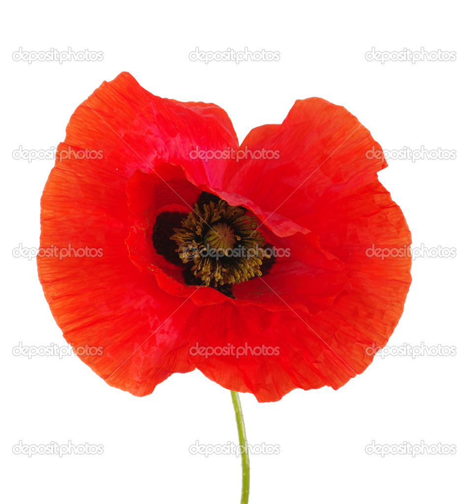 Red poppies isolated on white  Stock Photo #8009713