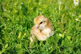 Sobre un césped de pollo — Foto de Stock