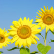 Sunflowers — Stock Photo #8223421