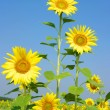 Sunflowers — Stock Photo #8223423