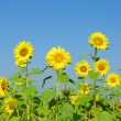 Sunflowers — Stock Photo #8739151