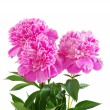 Pink peony flower — Stock Photo #8968634