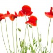 Red poppies — Stock Photo #8968642