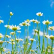 White camomile - Stock Photo