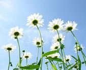 White daisies — Stockfoto