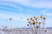 Dallar hoarfrost — Stok fotoğraf