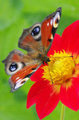 Butterfly on a flower — Stock fotografie