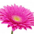 Gerbera flower — Stock Photo #9313786