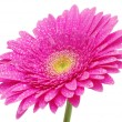 Gerbera flower — Stock Photo #9313787
