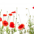 Beautiful red poppies — Stock Photo