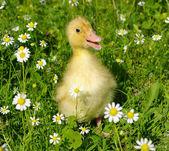 Canard bébé — Photo