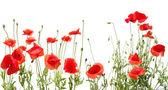 Amapolas rojas hermosas — Foto de Stock