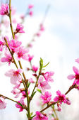 Pink blossoms — Stock Photo