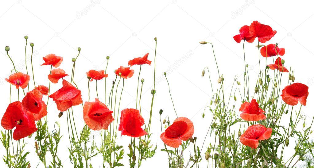 красные маки фото на белом фоне