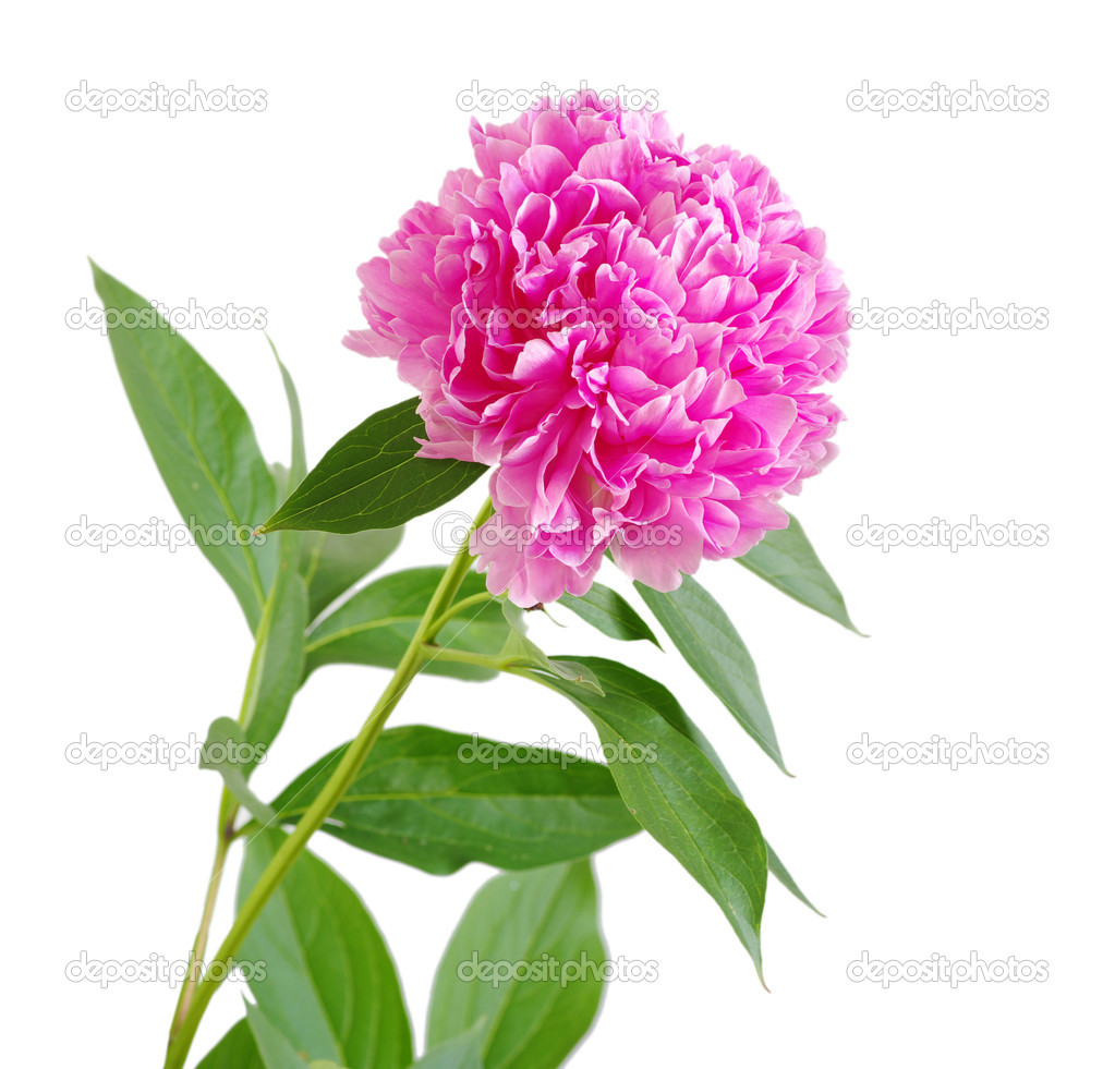 Pink peony flower isolated on white — Stock Photo #9421492