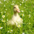 Baby duck - Stockfoto