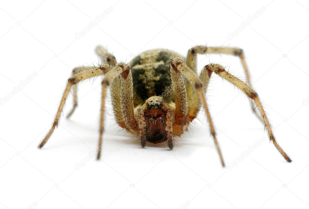 Spider isolated on the white — Stock Photo #9564811