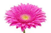非洲菊花卉 — 图库照片