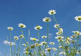 Manzanilla blanco — Foto de Stock
