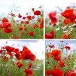 Poppy flower — Stockfoto #8829392
