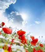 Vallmo blomma — Stockfoto