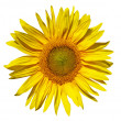 Yellow sunflower — Stockfoto