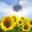 Sunflowers — Stock Photo #9381110