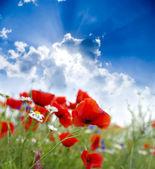 Poppy bloem — Stockfoto