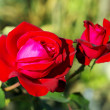 Stock Photo: Red roses