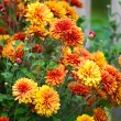Постер, плакат: Chrysanthemum