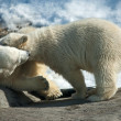 Two polar white bear — Stock Photo #8562346