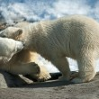 Two polar white bear — Stock Photo