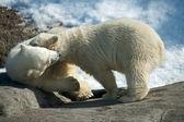 Två polar white bear — Stockfoto