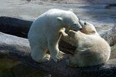Two polar white bear — Stock Photo