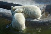 Dwa biały niedźwiedź polarny — Zdjęcie stockowe