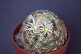 Kaktus kwiaty — Zdjęcie stockowe