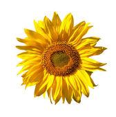 żółty słonecznik na białym tle — Zdjęcie stockowe