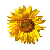 Girassol amarelo isolado no fundo branco — Foto Stock