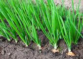 Zwiebel-plantage in den gemüsegarten — Stockfoto