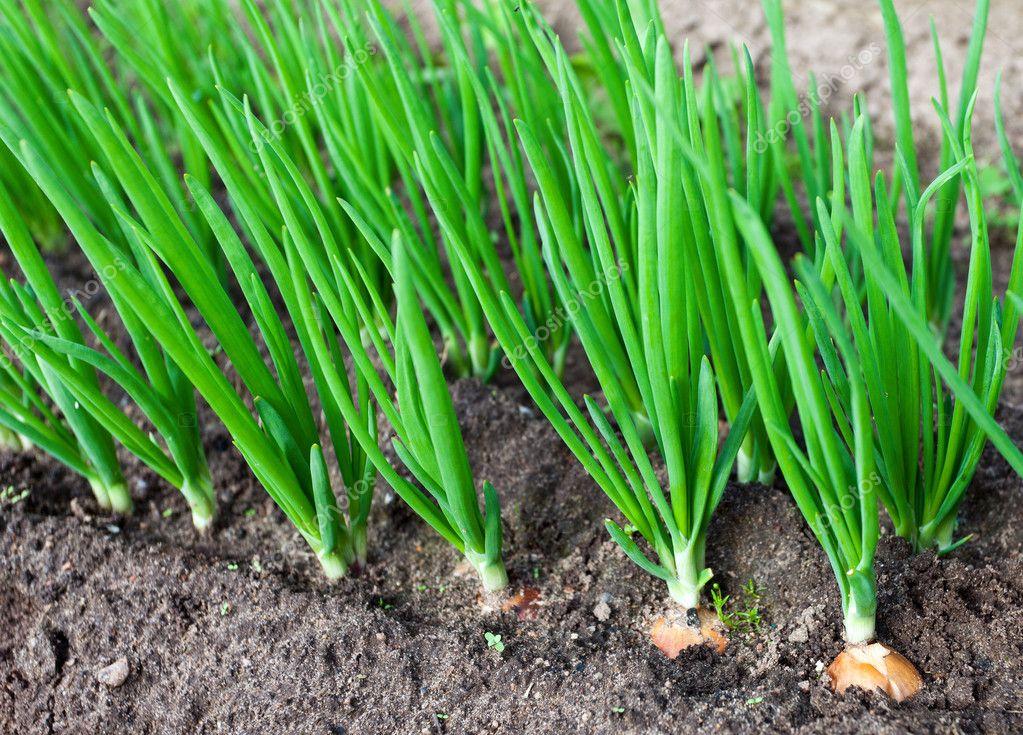 Plantation d 39 oignons dans le jardin potager photographie blinow61 10051426 for Plantation jardin