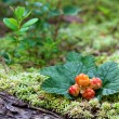 Cloudberry closeup in summer. Fresh wild fruit. — Stockfoto