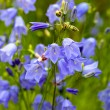 Stock Photo: Closeup of bellflower with nature medow background