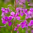 Purple Alpine Fireweed — Stock Photo