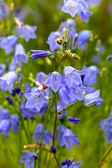 Closeup of bellflower with nature medow background — Stock Photo