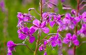 Purple Alpine Fireweed — Stock Photo
